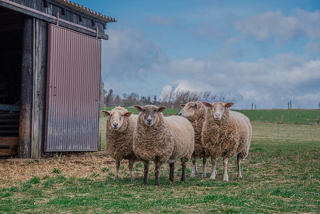 Vier Schafe am Stall