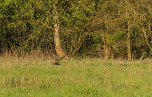 Ein Greifvogel aus der Wiese aufsteigend