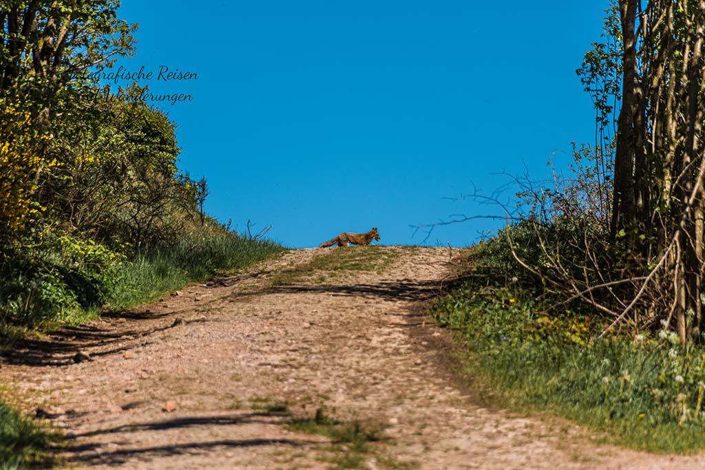 Fuchs verschwindet