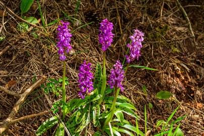 Orchideenwiesen in Gönnersdorf
