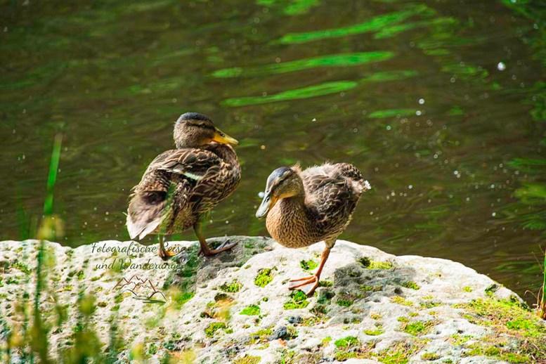 Zweisamkeit - Entenkinder