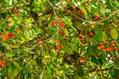 Kirschbaum auf der Hiwweltour Heideblick