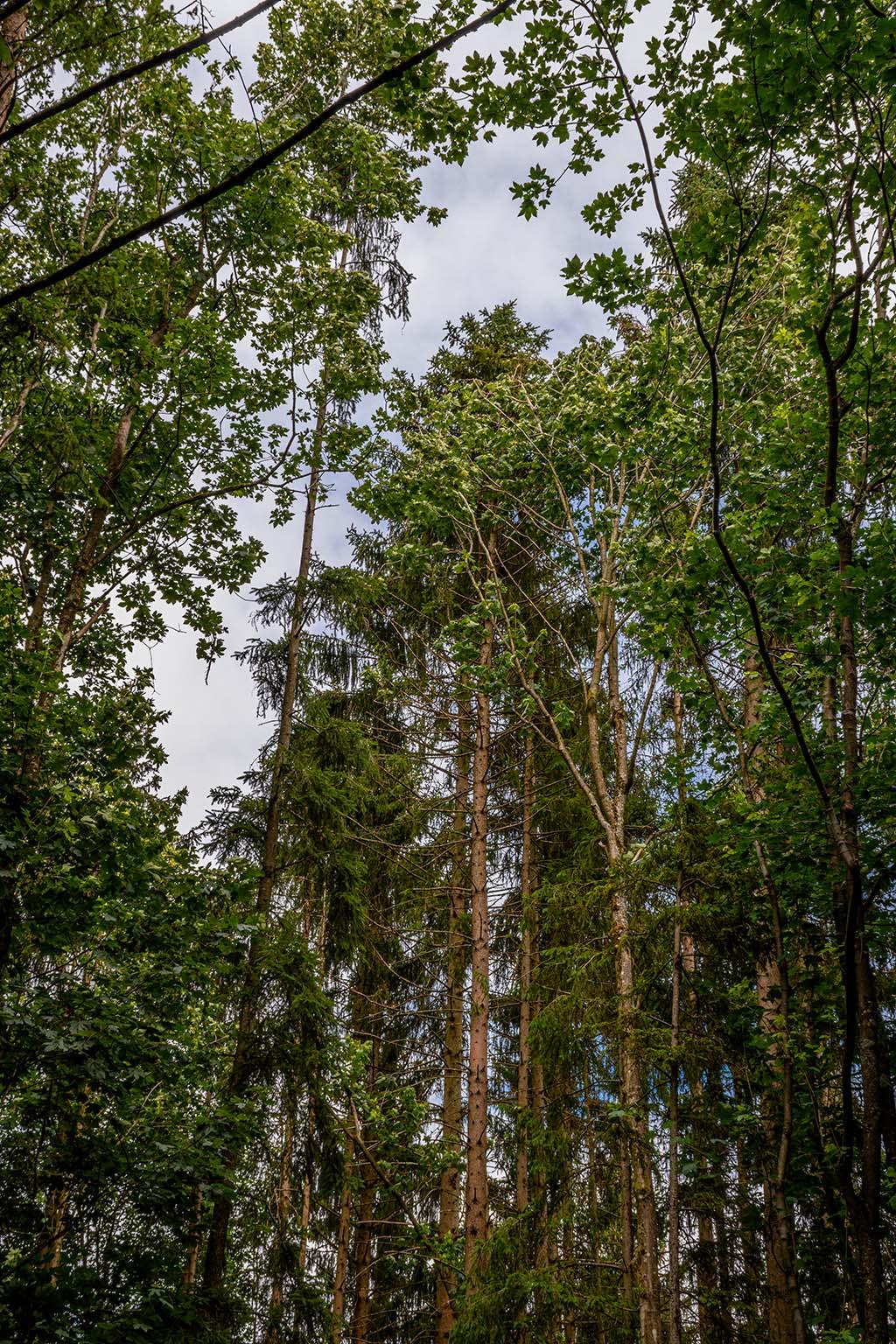 Tanzende Bäume im Wald