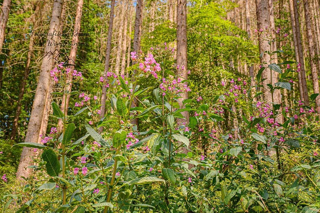 Drüsiges Springkraut vor toten Fichtenwald