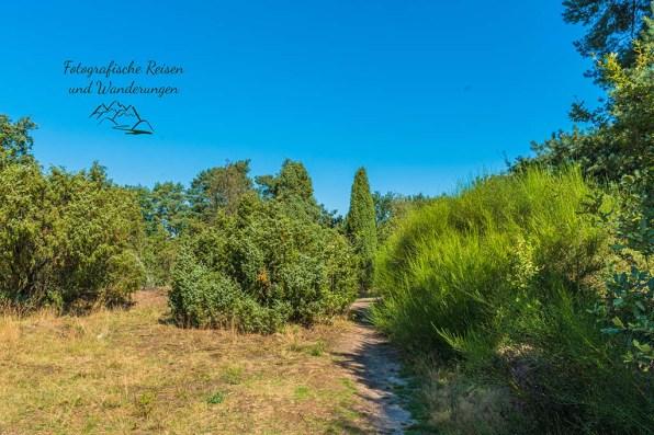 Wacholder in der Westruper Heide