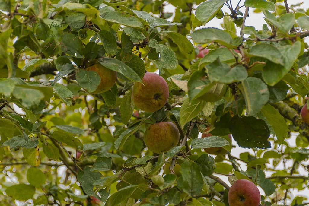 Lecker Äpfel
