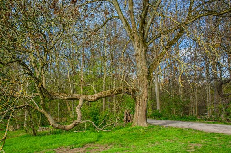 Alte Bäume am Decksteiner Weiher
