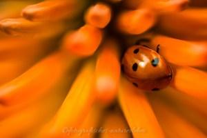 Marienkäfer auf oranger Blume