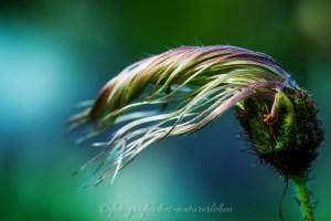verwelkte Blüte im Wind
