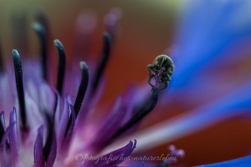 lila Blüte mit Käfer