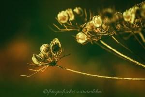 Herbstlicht auf Blüte