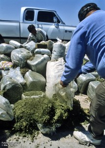 Marijuana destined for U.S. consumers intercepted by Mexican federal police. Photo © William P. Diven.
