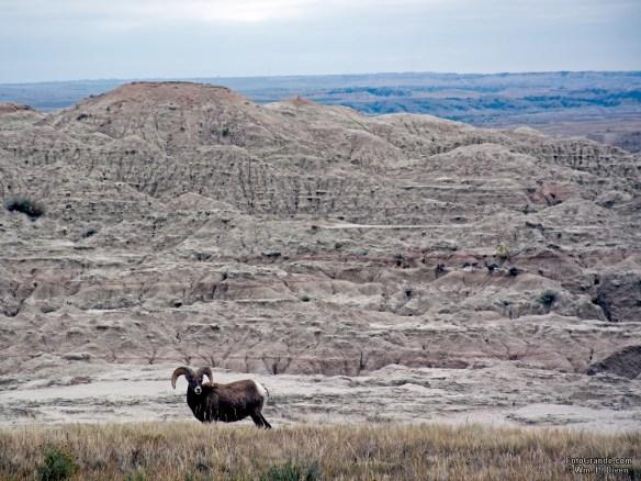 Bighorn sheep, Badlands National Park, South Dakota