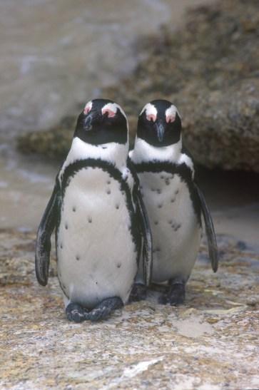 Sudáfrica, El Cabo, Pingüinos de la Bahia Falsa, animal