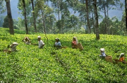 Sri Lanka, N'elya, cosecha del Té