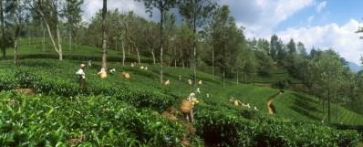 Sri Lanka, N'elya, cosecha del Té, trabajo