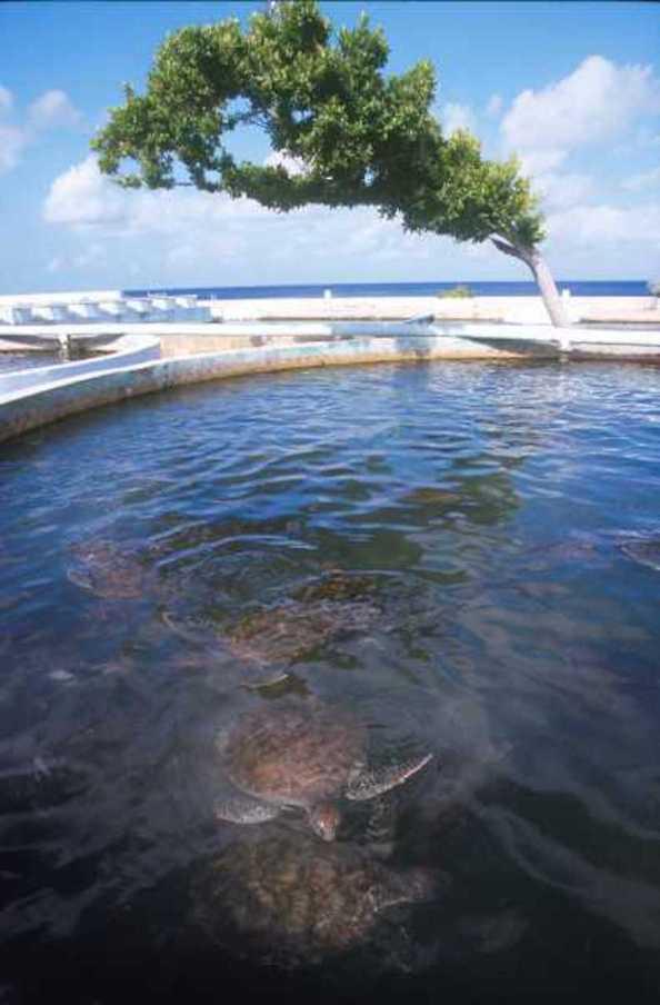 Islas Cayman, West Bay, Granja de Tortugas para la repoblación