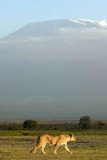 Kenya Parque Nacional Amboseli, Kuilimajaro, leona
