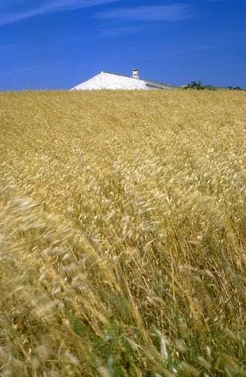 Menorca, campos de trigo