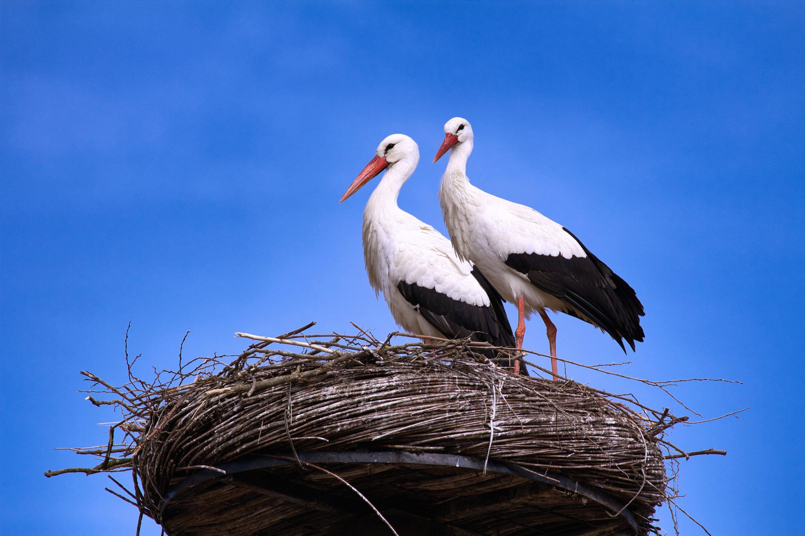 щъркели в гнездо