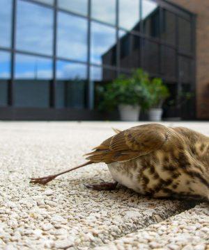 Hager_BirdWindowCollisions_Carcassb_0