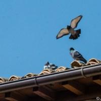 Familia de palomas