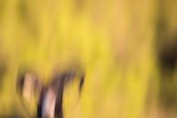Muflon vædder