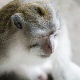 Macaco de cola larga fotografiado en Ubud, isla de Bali, Indonesia, en un sitio llamado Monkey Forest, donde se puede ver como es posible la convivencia entre humanos y naturaleza. El Monkey Forest es un conjunto de templos totalmente inmersos en la jungla, donde viven toda clase de animales, entre ellos, unos 300 macacos de cola larga.
