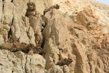 Rezerwat Ein Gedi - góralki syryjskie