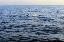 delfiny w czasie rejsu z Wysp Liparyjskich