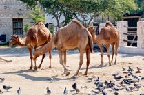 Doha - Camel Pen