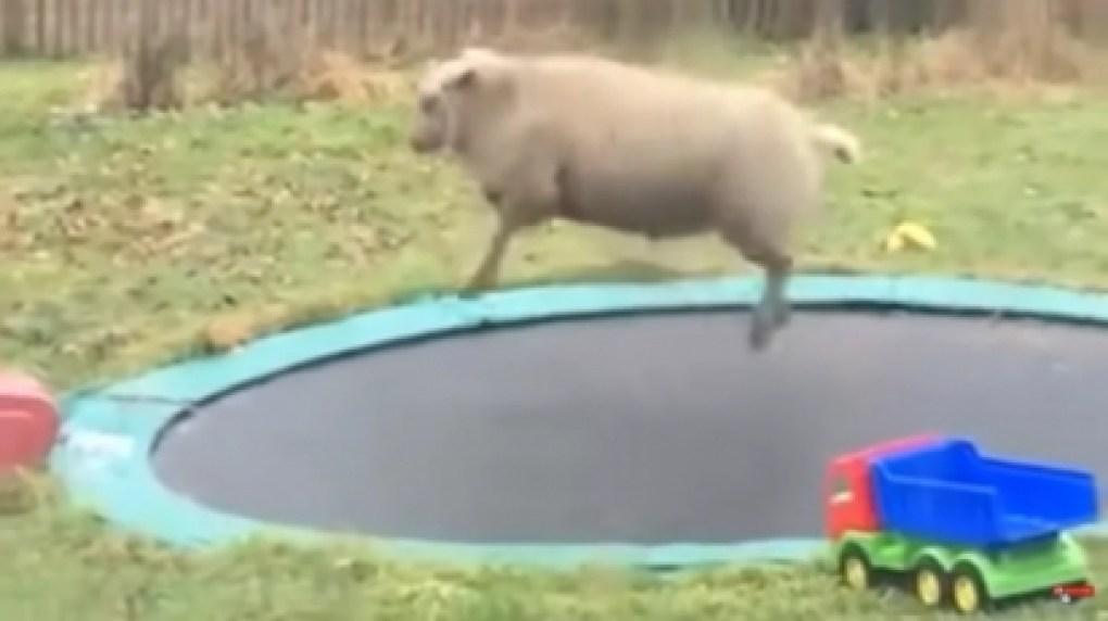 A ovelhinha descobriu acidentalmente o brinquedo. (Foto: Reprodução Youtube/Aww Network)