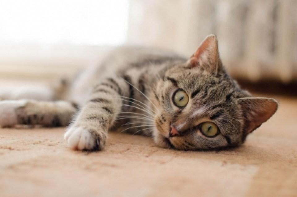 Quando os gatos amassam o pãozinho, eles estão se sentindo felizes e seguros no ambiente em que vivem. (Foto: Divulgação Pixabay/Daga_Roszkowska)