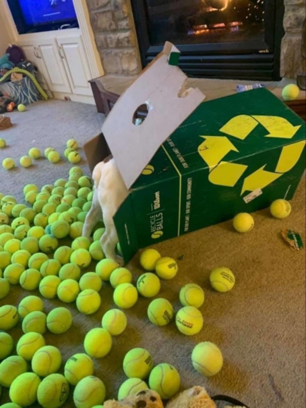 A buldogue Noora, dentre tantas bolinhas, escolheu a que estava no fundo da caixa. (Foto: Arquivo Pessoal/Katie Swartout)