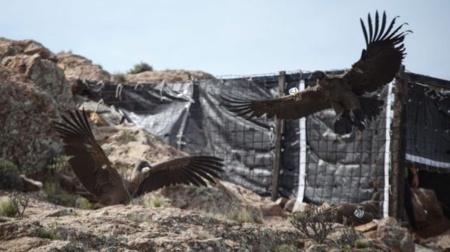 Histórica liberación de siete cóndores andinos rehabilitados y criados en aislamiento | Perfil
