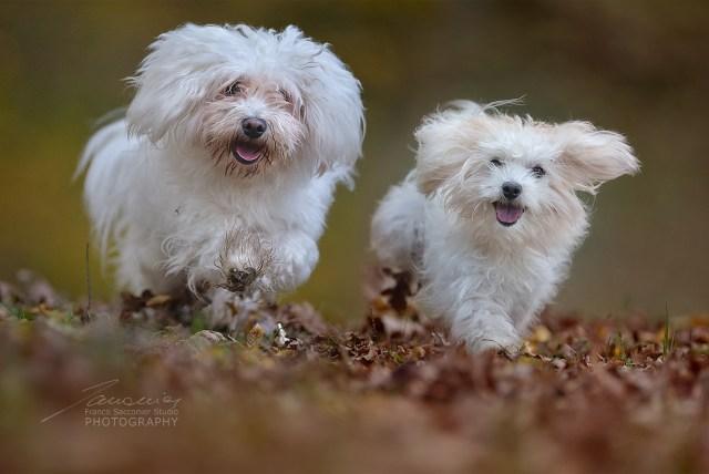 """Immersi nei colori dell'autunno, nel bosco, due piccoli """"maltesi"""""""