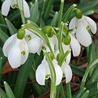 Flower of the day: snowdrops