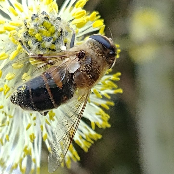 Bee collecting pollen on a yrllow flower