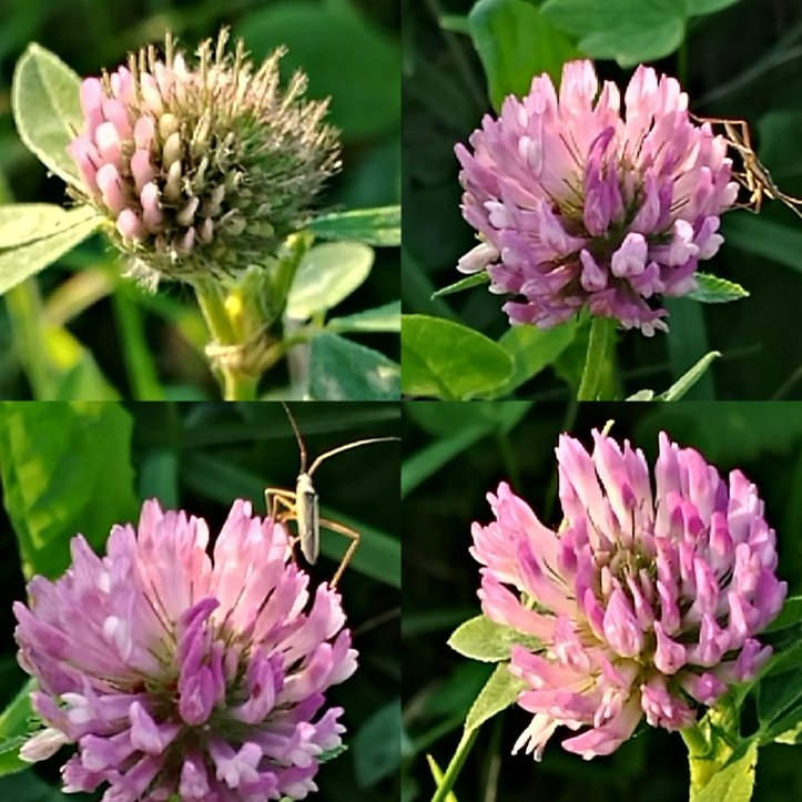 I made a flower collage for you with pink clover blooms and  cute little insects