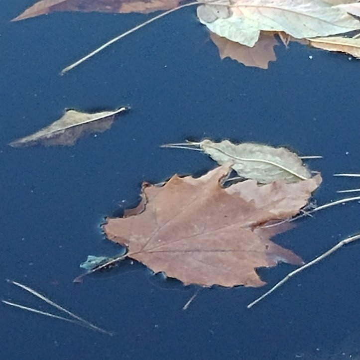 Minimalism: Beige fall leaves and pine needles in blue water