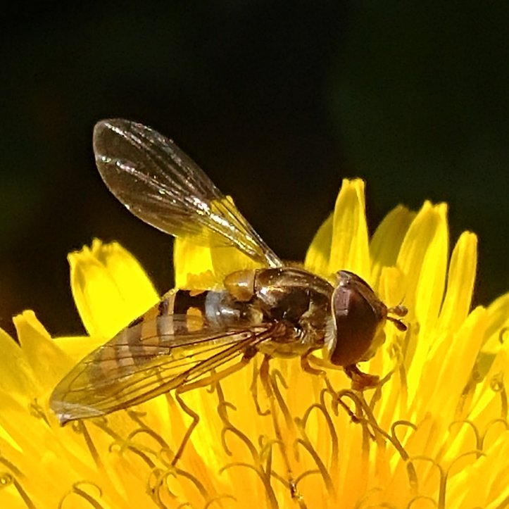 Macrophoto of an insect with shiny wings