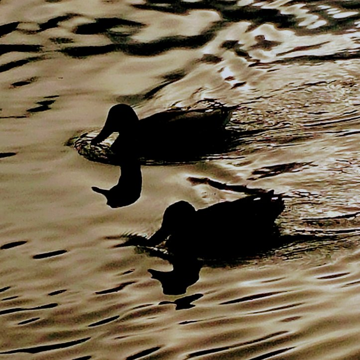 Two ducks swimming in the same direction in golden water