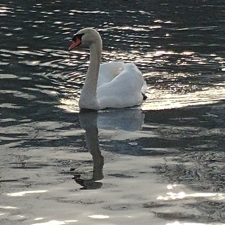 Swan enboying the sun in the Rhein river