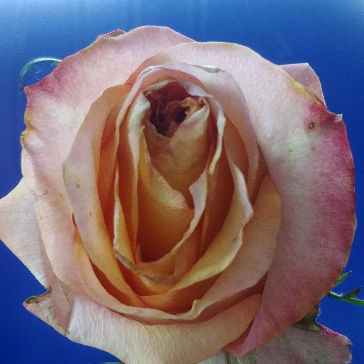 Pretty pink rose macro photo by fotosbykarin