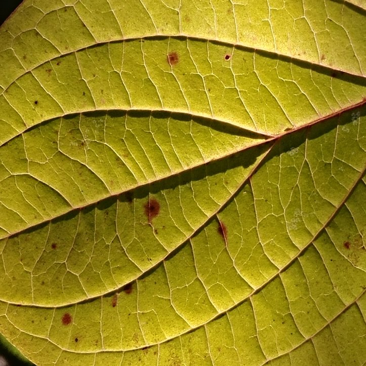 Green leaf with lines, macro photo by fotosbykarin