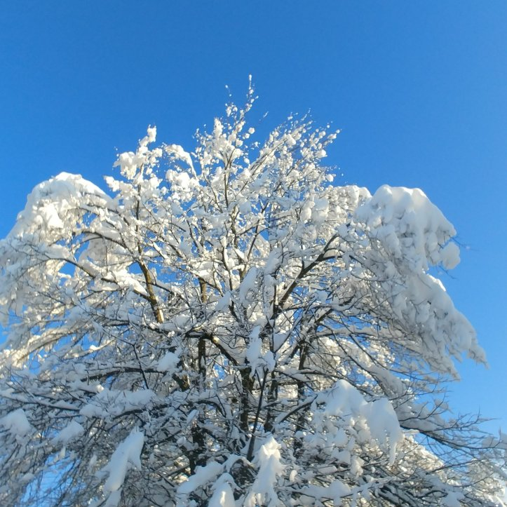 Snowy trees in blue sky, nature photo by fotosbykarin