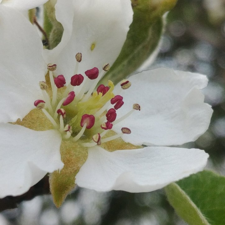 Lovely white spring bloom and white blossom, macro photo by fotosbykarin