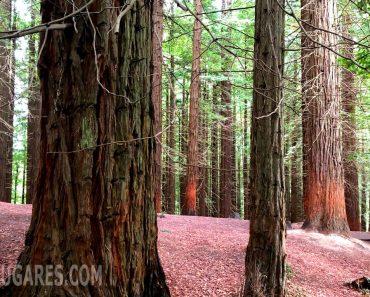 Precioso bosque de Secuoyas en Cabezón de la Sal, Cantabria