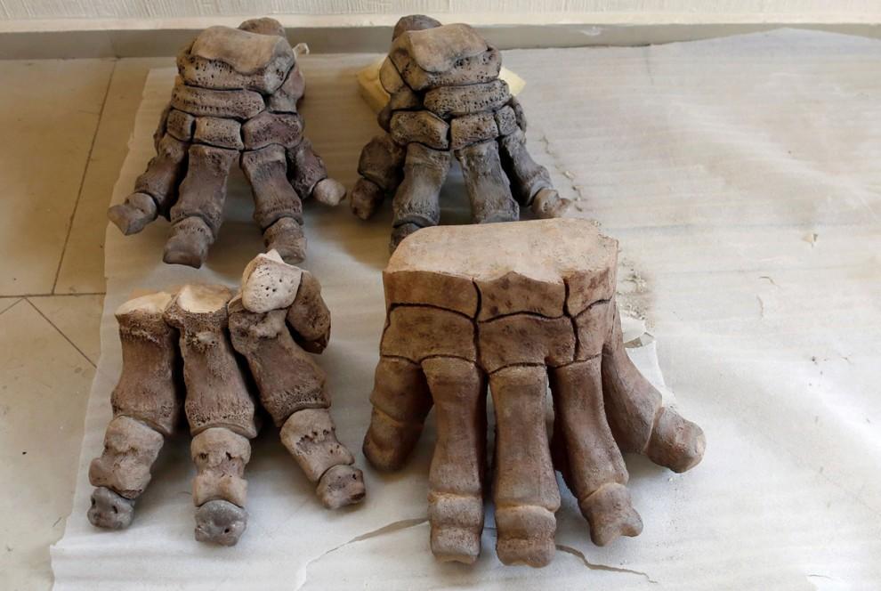 Останки колумбийского мамонта (Mammuthus Columbi)