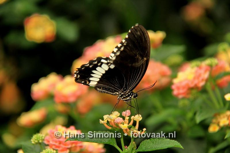 160626_010_Vlinders_aan_de_Vliet